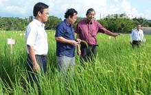 Bạc Liêu: Kỳ vọng vào hạt gạo ngon nhất thế giới
