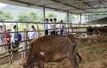 Bàn giao đàn bò tót lai gầy trơ xương