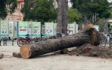 Chặt bỏ hàng loạt cây xanh ở công viên Văn Lang vì...  chết đứng!