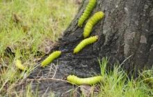 Hàng trăm cây xanh ở Vũng Tàu trụi lá vì sâu lạ tấn công