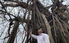 Hàng chục ngàn cây xanh trên đảo Lý Sơn bị bão vặt trụi lá