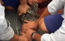 Cá sấu liên tiếp sổng chuồng ở Cà Mau