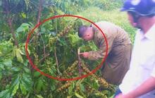 5 năm, vườn cà phê bị kẻ xấu chặt phá 10 lần, chủ nhân uất nghẹn