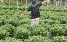 Người trồng hoa Tết âu lo