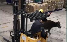Trâu điên lao vào công ty húc nhiều công nhân bị thương