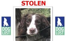 Nạn trộm chó ở Anh gia tăng mạnh