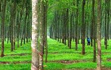 Giám đốc nông trường cao su khai man để làm sổ đỏ hơn 7.800 m2 đất