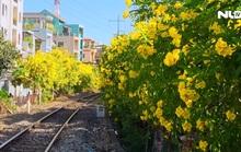 [Video] - Hoa huỳnh liên nhuộm vàng nhiều tuyến đường ở TP HCM