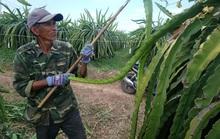 Bình Thuận thất thu mùa thanh long trái vụ