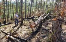 Lâm Đồng: Phá rừng thông rồi rao bán đất như vô chủ