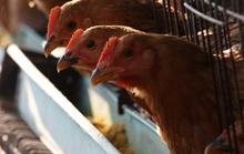 Cúm gà H5N1 bùng phát giữa đại dịch corona