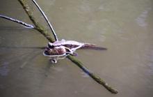 Loài cá bé nhỏ biết... leo cây được Cà Mau nghiên cứu bảo tồn và phát triển