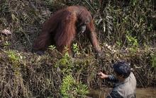 Cứu vật, vật trả ơn: đười ươi vươn tay muốn kéo  người đàn ông dưới bùn