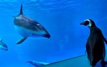 Thiếu vắng du khách, chim cánh cụt tiếp quản thủy cung