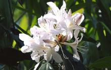 Mê mẩn ngắm nữ hoàng của các loài hoa trên đỉnh K'lang