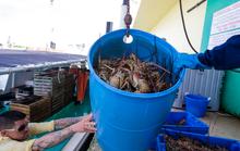 Ngư dân Mỹ không bán được tôm hùm mùa dịch Covid-19