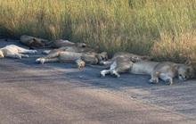 Sư tử ngủ trưa trên đường khi con người vào nhà trốn đại dịch