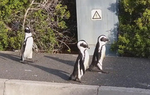 Chim cánh cụt châu Phi đi dạo trên đường phố không người