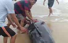 Người dân đạp sóng cứu cá voi mắc cạn ở bờ biển