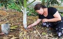 Lâm Đồng: Lại phát hiện vườn sầu riêng bị kẻ xấu đầu độc