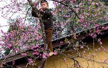 Những mùa hoa trên cao nguyên đá Hà Giang