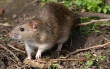 Chuột rời nơi ẩn náu trên toàn thế giới
