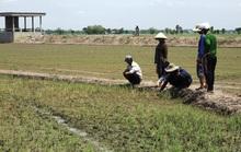 Nông dân ngồi khóc trên bờ ruộng vì lúa bất ngờ chết sạch