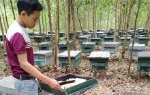 Ong nuôi hàng trăm tổ chết bất thường, nghi bị đầu độc