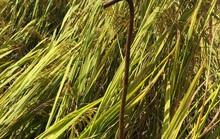 Hàng loạt thanh thép mọc bất thường giữa ruộng lúa, công an vào cuộc làm rõ