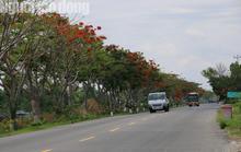 Đẹp ngỡ ngàng con đường hoa phượng đỏ rực ở miền Tây