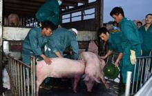 Heo Thái Lan nhập khẩu sẽ tiếp tục kéo giảm giá heo trong nước