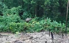 Clip: Voi rừng về gần nhà dân kiếm ăn