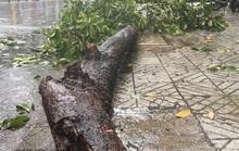 Cây xanh ngã đổ, làm sao ngăn ngừa?