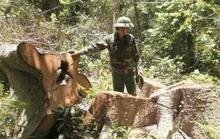 Một cơn bão xóa sổ... 7.000 ha rừng ở Đắk Lắk !?