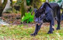 Nghi xuất hiện 2 con báo đen gần khu dân cư ở Đồng Nai