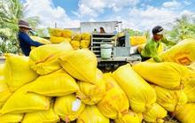 Gạo Việt tăng giá, nông dân phấn khởi