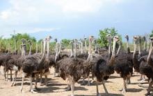 Khám phá trung tâm giống đà điểu lớn nhất Việt Nam