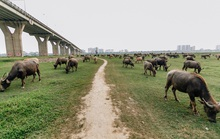 Hà Nội cấm chăn nuôi ở khu vực đô thị
