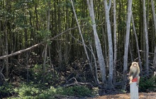 Cây ngoại lai dần tấn công sâu vào rừng ngập mặn Cần Giờ