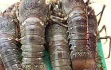 Tôm hùm Bình Định rớt giá thê thảm, nhiều người nuôi tôm phải bỏ nghề