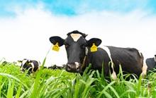 Việt Nam có vùng nguyên liệu sữa đạt chuẩn EU