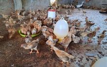 Phó chủ tịch xã bị kiểm điểm, vì để vợ nhận nuôi 1.000 con gà giống dự án