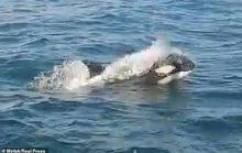 Cá voi sát thủ bao vây, tấn công dữ dội tàu thuyền ở Tây Ban Nha
