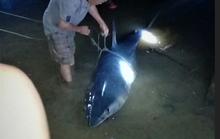 Cá mập xanh khủng còn dính lưỡi câu dạt vô sông Bến Hải