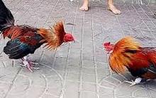 Bị bắt vì nhận 1 tỉ đồng chạy án cho chủ trường gà ở TP HCM