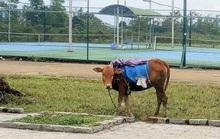 Thừa Thiên-Huế: Rét đậm, gia súc chết nhiều hơn khu vực miền Bắc