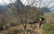 Đề nghị Thủ tướng cho phép truy xuất nguồn gốc cây đào