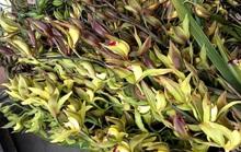 Hiếm có mùa Tết: Lan Trần Mộng siêu rẻ, 20.000 đồng/cành hoa dài cả mét