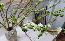 Hoa tuyết mai là gì mà 'hot' nhất tết này, ai cũng muốn mua về cắm?