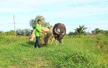 Năm Sửu, gặp lão nông vùng biên chuyên nuôi trâu vỗ béo